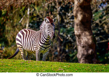 Plains Zebra on Meadow - A common zebra stands on the...