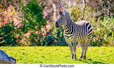 Plains Zebra on Meadow - A common zebra stands on the meadow...