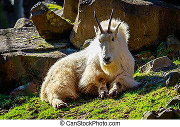 Rocky Mountain Goat - Rocky mountain goat roams and rests on...