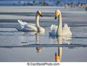 Two whooper swans swimming - Whooper swan Cygnus Cygnus...