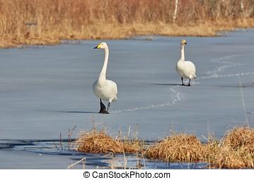 Two whooper swans walking on ice - Whooper swan Cygnus...