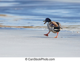 Mallard walking on ice - Mallard Anas platyrhynchos walking...