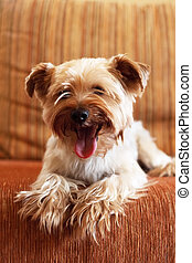 Yorkshire Terrier on a yellow background