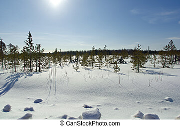 Spring taiga forest and marsh - Pinega District Russia...