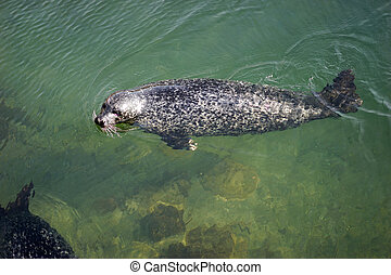 One Seal swimming