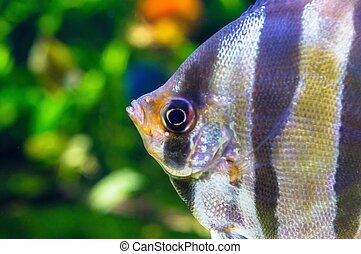Angelfish - Pterophyllum scalare in aquarium - Angelfish -...