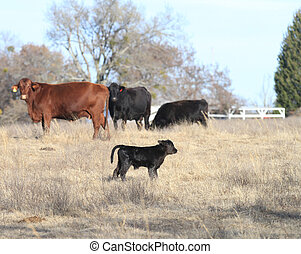 Black calf with cows - Black calf with red and black cows in...