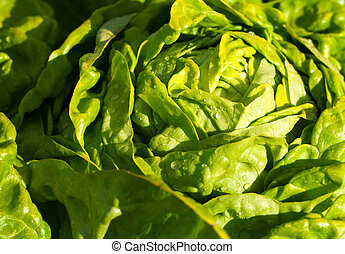Lettuce Salad in the garden