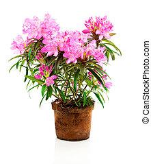 Rhododendron, flores, isolado, ligado, branca, fundo,