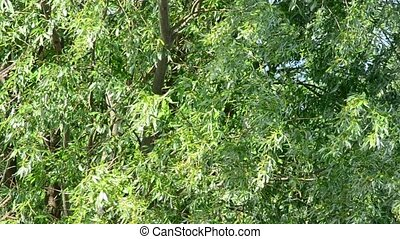 Fresh green juicy willow foliage blown by wind in spring -...