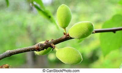 Close-up of unripe green apricot tree fruits blown by wind -...