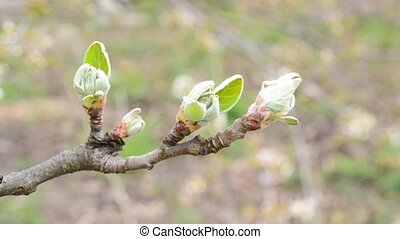 Malus domestica. Close-up of opening leaf buds of apple tree...