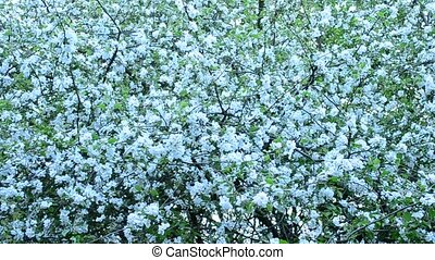 Malus domestica. White apple tree blossom fills the frame -...