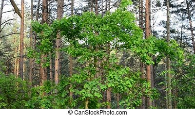 English oak tree in a forest with vibrant green foliage -...