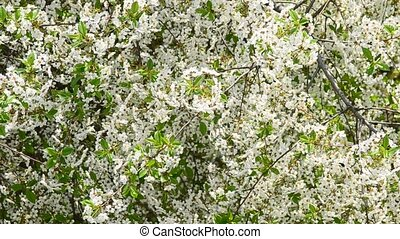 White cherry tree blossom and bees collecting nectar -...