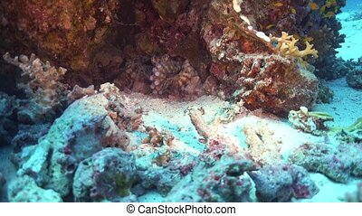 Octopus on Coral Reef, underwater scene
