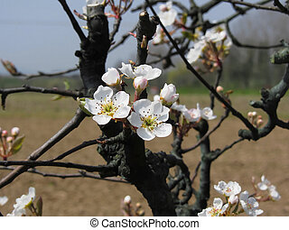 Apple tree branches with blossoms