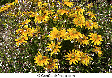 Coneflowers and silenes - Yellow coneflowers rudbeckia and...