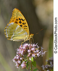 Silver-washed Fritillary butterfly (Argynnis paphia) feeding...
