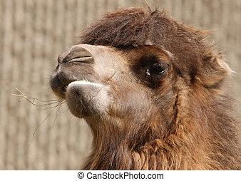 Bactrian Camel - Close up of a Bactrian Camel