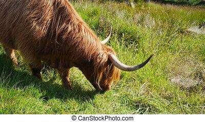 Scottish highland cow - Light blond Scottisch highland cow...