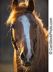 caballo, en, sunset, ,