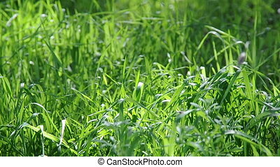 Long Uncut Grass Blowing in Wind - Abstract background...