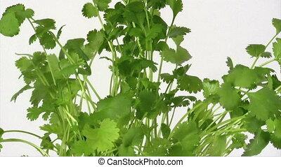 Coriander - Fresh coriander is rotating