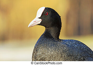 Beautiful portrait of coot