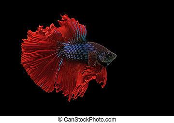 peixe,  Siamese, peixe,  betta, luta, isolado, pretas
