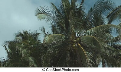 Coconut on the palm tree