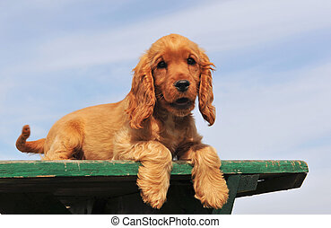 puppy cocker spaniel - portrait of a purebred cocker spaniel...
