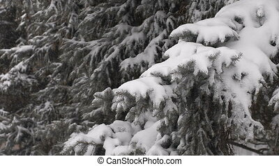 light snowfall Snow Covered Pine Tree Branches Close Up