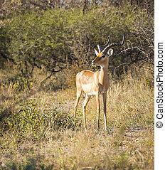 Impala Africa - Impala out on the plains in Botswana, Africa