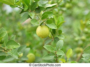 lemons hanging on a lemon tree