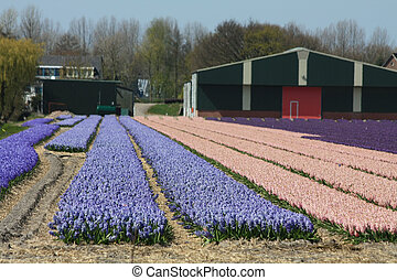 Dutch Floral industry, hyacints in a field - Dutch floral...
