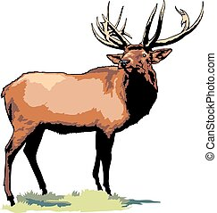 wild big buck isolated on the white background
