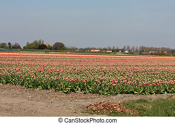 Different shades of tulips on a field - Dutch floral...