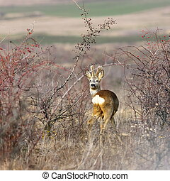 beautiful roebuck in spring - beautiful roebuck amongst the...