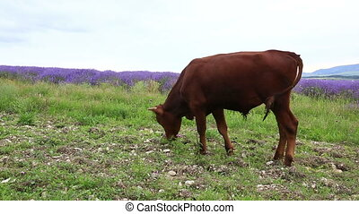 Young bulls grazing in mountains - Young brown bulls feeding...