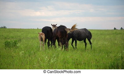 Brown horses grazing in forest meadow - Band of horses...