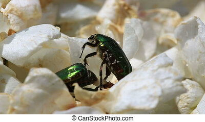 Cetonia aurata beetles close up - Green rose chafer beetles...