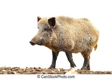 isolated huge wild boar - huge wild boar walking on mud (...