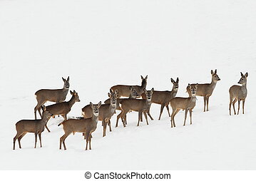 roe deers on white snow - herd of roe deers on white snow (...