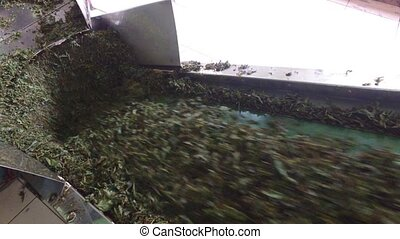 green tea moving on machine conveyor at factory -...