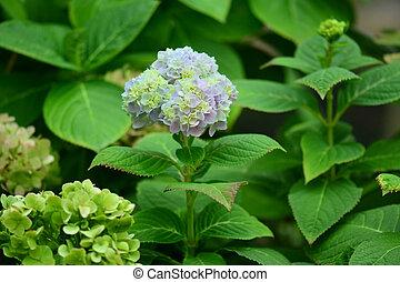 Mophead Hydrangea - Hydrangea macrophylla