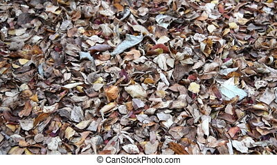 Dry autumn leaves, background - Ground covered with dry...