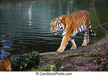 Tiger at the watering - Siberian tiger walking nearby the...