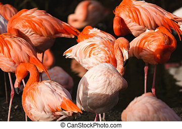 The flock of flamingo
