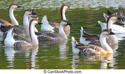 Goose Animal in Lake